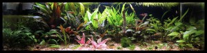 "Current layout of ""Crypt-asia"" 9.9.2011 (Cryptocoryne tank)"