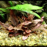 Crypt-asia - Cryptocoryne sp. 'Flamingo' 28-5-2011