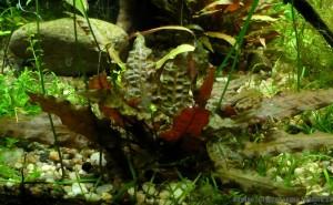 Cryptocoryne wendtii 'Mi Oya' (submersed) 27.4.2012