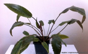 Cryptocoryne beckettii (emersed) 26.4.2012