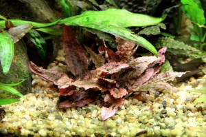 Cryptocoryne sp. 'Flamingo' 28.5.2011 - more vivid colors