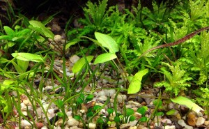 Cryptocoryne wendtii 'Green Gecko' - just planted 12.5.2012