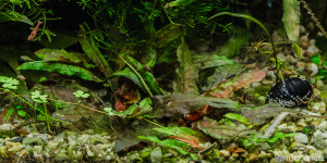 Cryptocoryne wendtii 'Green Gecko', Jan 24, 2013 (submersed)