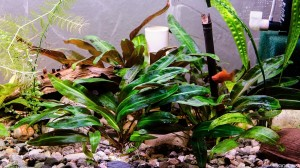 Cryptocoryne affinis - The Beauty (Karel´s tank)