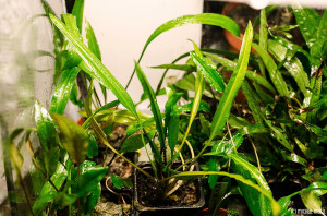 Cryptocoryne albida (emersed) Oct 17 2013