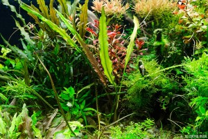 Cryptocoryne albida (submersed) Oct 17 2013 (1)