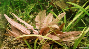 Cryptocoryne sp. 'Flamingo' 15.10.2013 in low tech tank (2)
