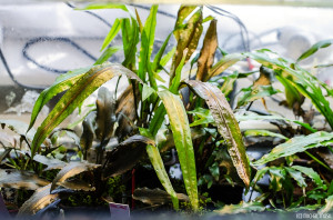 Cryptocoryne albida (April 2014)