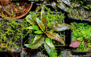 Cryptocoryne wendtii 'Green Gecko'  (April 2014)