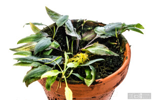 Cryptocoryne minima (August 2014) - another pot