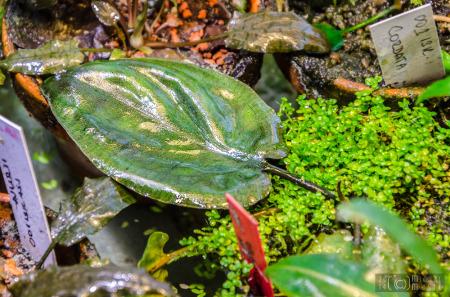 Cryptocoryne cordata var. cordata - leaf detail, approx. 7cm (July 5, 2014)