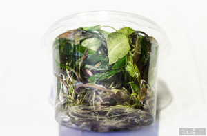 Cryptocoryne x purpurea - from Dennerle - in vitro (Sept. 7, 2014)