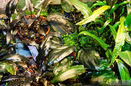 Cryptocoryne cordata var. cordata - leaves (Aug., 2014)