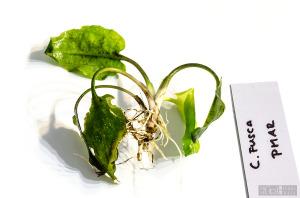 Cryptocoryne fusca (Sept. 13, 2014) - plant