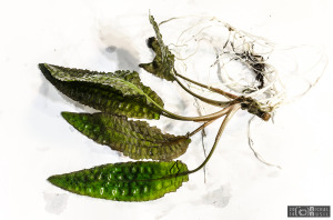Cryptocoryne hudoroi (Sept. 13, 2014) - submersed - plant
