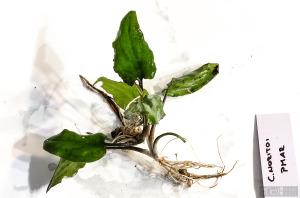 Cryptocoryne noritoi (Sept. 13, 2014) - plant