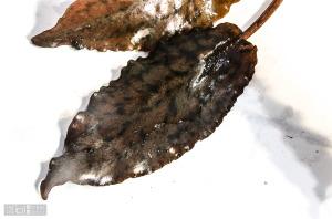 Cryptocoryne striolata (West Kalimantan) - just arrived (Sept. 13, 2014) - leaf detail