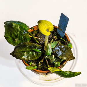 Cryptocoryne sp. 'Yellow ring' 'Bukit Ibam' (Nov. 20, 2014) - plant