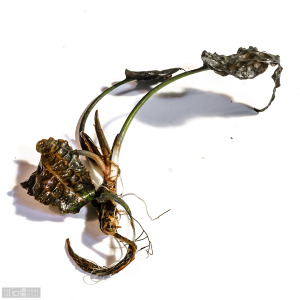 Cryptocoryne uenoi 'Serian' (Oct. 29, 2014) - just arrived