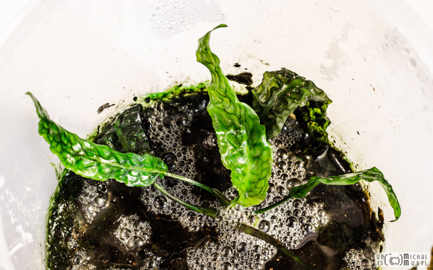 Cryptocoryne bullosa 'Sarikei' (Feb. 12, 2015)