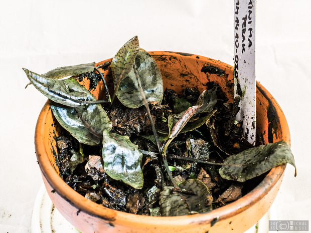 Label mix up? Labeled as Cryptocoryne minima 'Perak', but reminds me more C. x purpurea (Feb. 12, 2015)